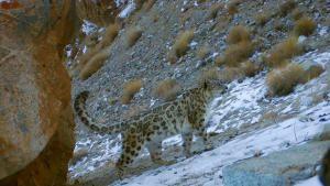 قطط الهند البرية صورة
