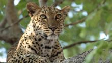 Leopard Who Changed Her Spots show