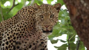 Leopard Who Changed Her Spots photo