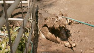 التمساح في الحفرة صورة