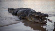 التمساح المنبوذ برنامج