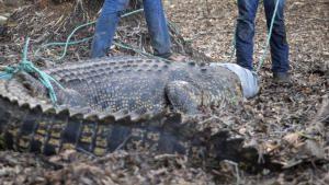 التمساح المنبوذ صورة