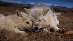 مملكة الذئب القطبي صورة