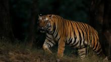 انقراض النمور برنامج