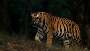 Counting Tigers photo