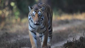انقراض النمور صورة