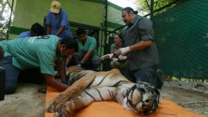 A Tiger's Tale photo