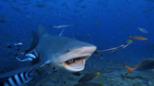 Dangerous shark photo