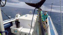 Little Boat, Big Tuna show