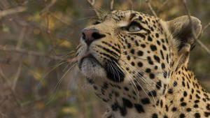 A Leopard's Tale photo