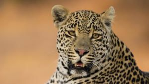 A Leopard's Tale photo