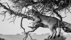 A Lion Legacy photo