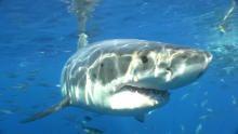 أسماك القرش المطلوبة برنامج