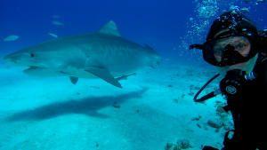 أسماك القرش المطلوبة صورة