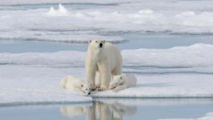 خاص اليوم العالمي للدب القطبي صورة
