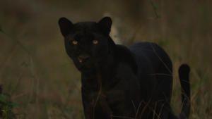 النمر الأسود الحقيقي صورة