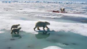 Kingdom of the polar bears photo