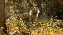 أوكافانغو أفريقيا: أكبر خمس حيوانات في أفريقيا برنامج