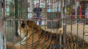 النمور صورة
