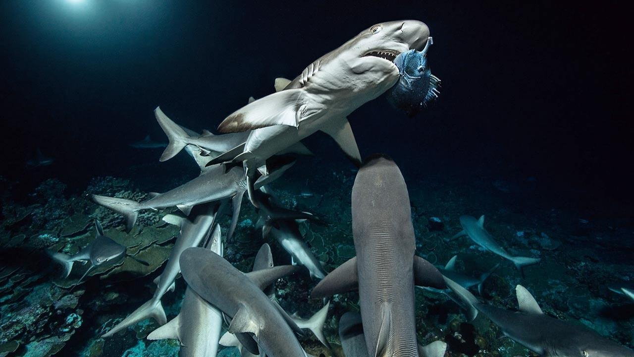 Sharkfest National Geographic Channel International