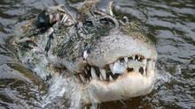 亞馬遜巨鱷 Amazonia's Giant Jaws 節目
