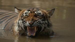 Sumatra'nın Son Kaplanı