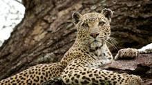 Leopard Queen show