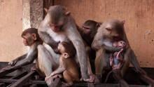 猴子小偷 Monkey Thieves 節目