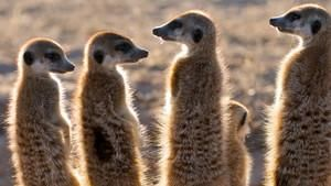狐蒙家族 Clan Of The Meerkat