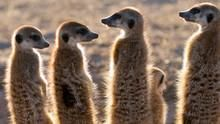 Clan of the Meerkats show