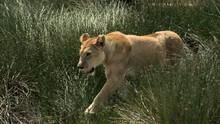 Big Cat Wars: Lion vs. Cheetah show