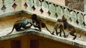 Maimuţe la furat