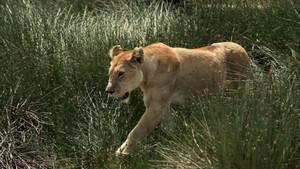 מלחמות החתולים: אריה מול צ'יטה