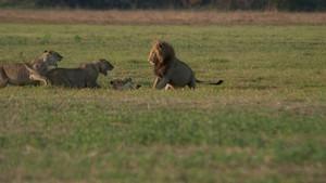 Lwy z bagien