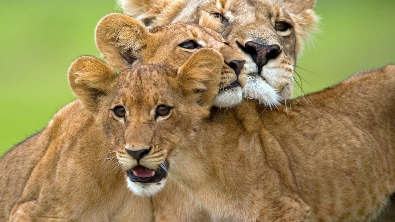 Watch Lion Battle Zone Videos Online - National Geographic