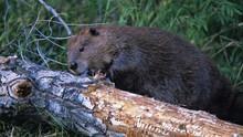 Dam Beavers show
