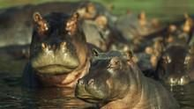 Hippos: Africa's River Beast show