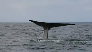 Blue Whale Odyssey