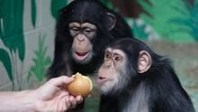 Human Ape show