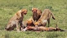 Cheetah Fatal Instinct show