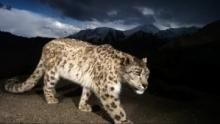 Snow Leopard of Afghanistan show