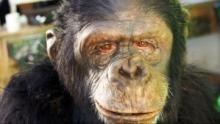 Ape Man show
