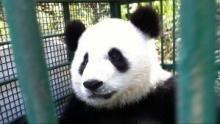 Giant Pandas show