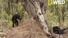 Chimps: Nearly Human show