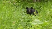 الدب المترحل برنامج
