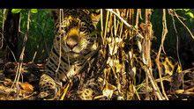 Sulle tracce del giaguaro programma