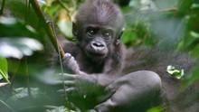 剛果神祕大猩猩 Mystery Gorilla 節目