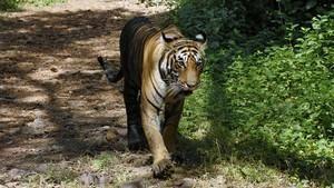 透視內幕: 非法老虎交易 Inside: The Tiger Trade