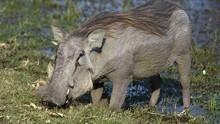 勇敢的疣豬媽媽 Mother Warthog 節目