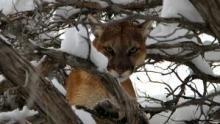 Cougar V. Wolf show